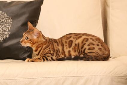 chat du bengale couché de profil sur le canapé blanc